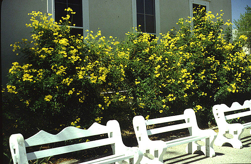 Plantanswers plant answers yellow bells for 2000 mightylinksfo