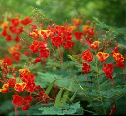 Praktikum bunga majemuk islamiardela sumberhttpplantanswers12mosxeriscapeaugustcaesalpiniapulcherrimag ccuart Gallery