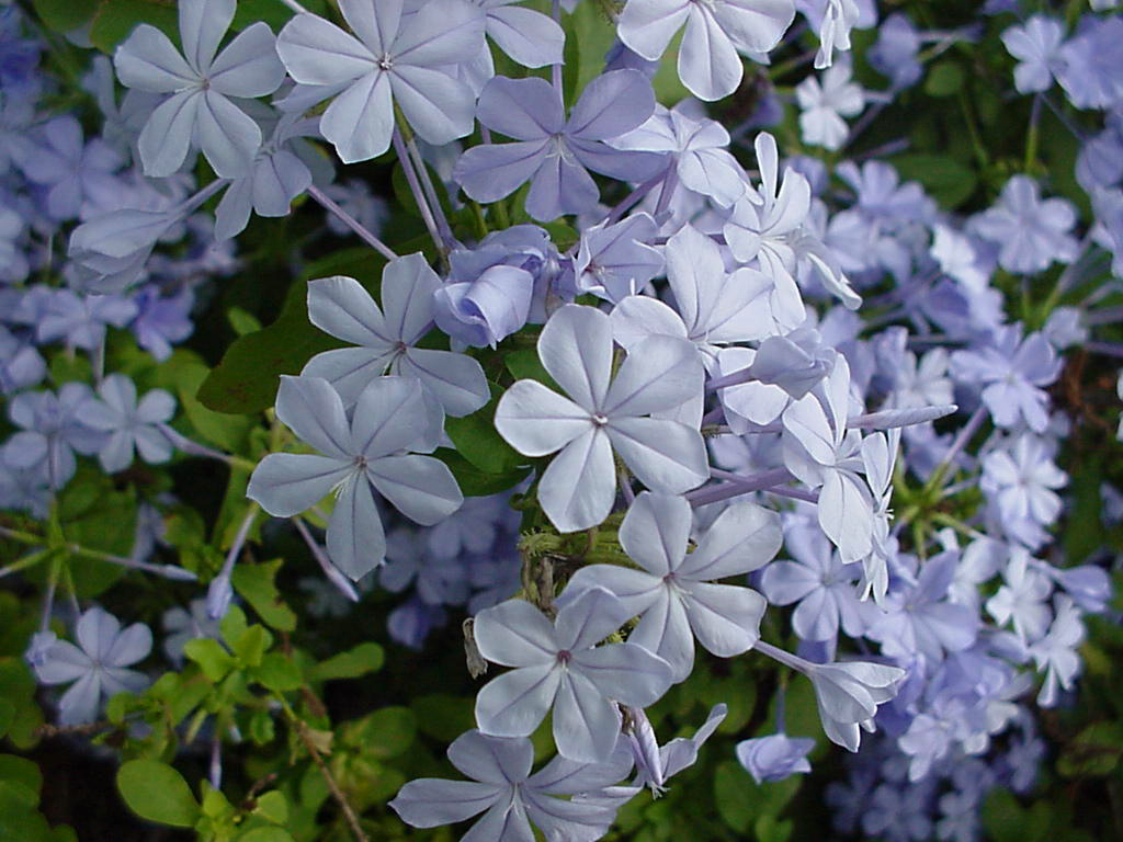 Plantanswers plant answers 12 months of watersaver landscape blue plumbago is a perennial with blue flowers all summer it performs well in partial shade or full sun some winters the foliage is retained and in izmirmasajfo Choice Image