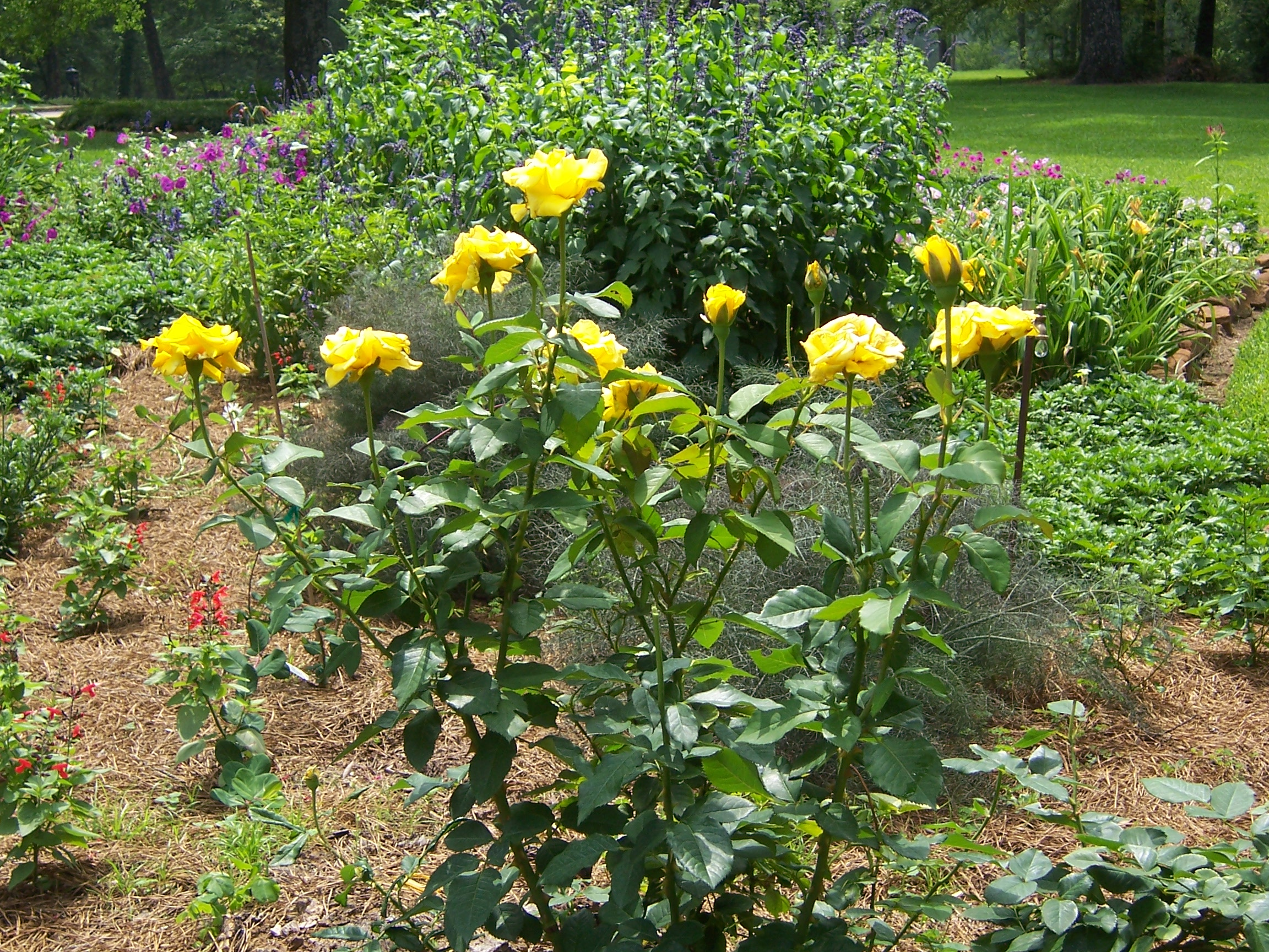 Roses In Garden: PLANTanswers: Plant Answers > 12 Months Of Watersaver