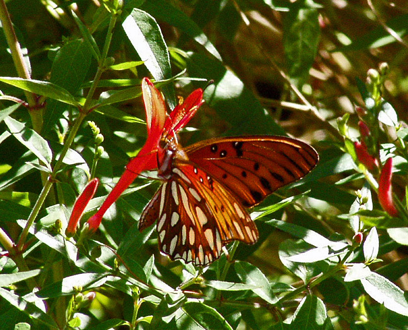 Plantanswers Plant Answers Gt Hummingbird Bush