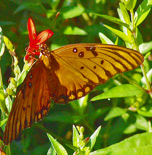 PLANTanswers: Plant Answers > Hummingbird Bush