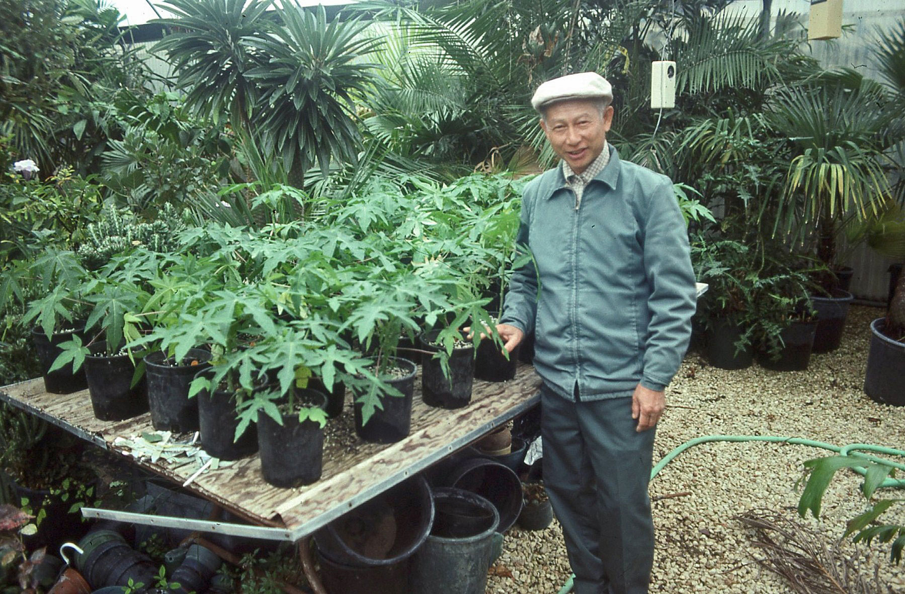 Plantanswers Plant Answers Gt Papaya Growing In San
