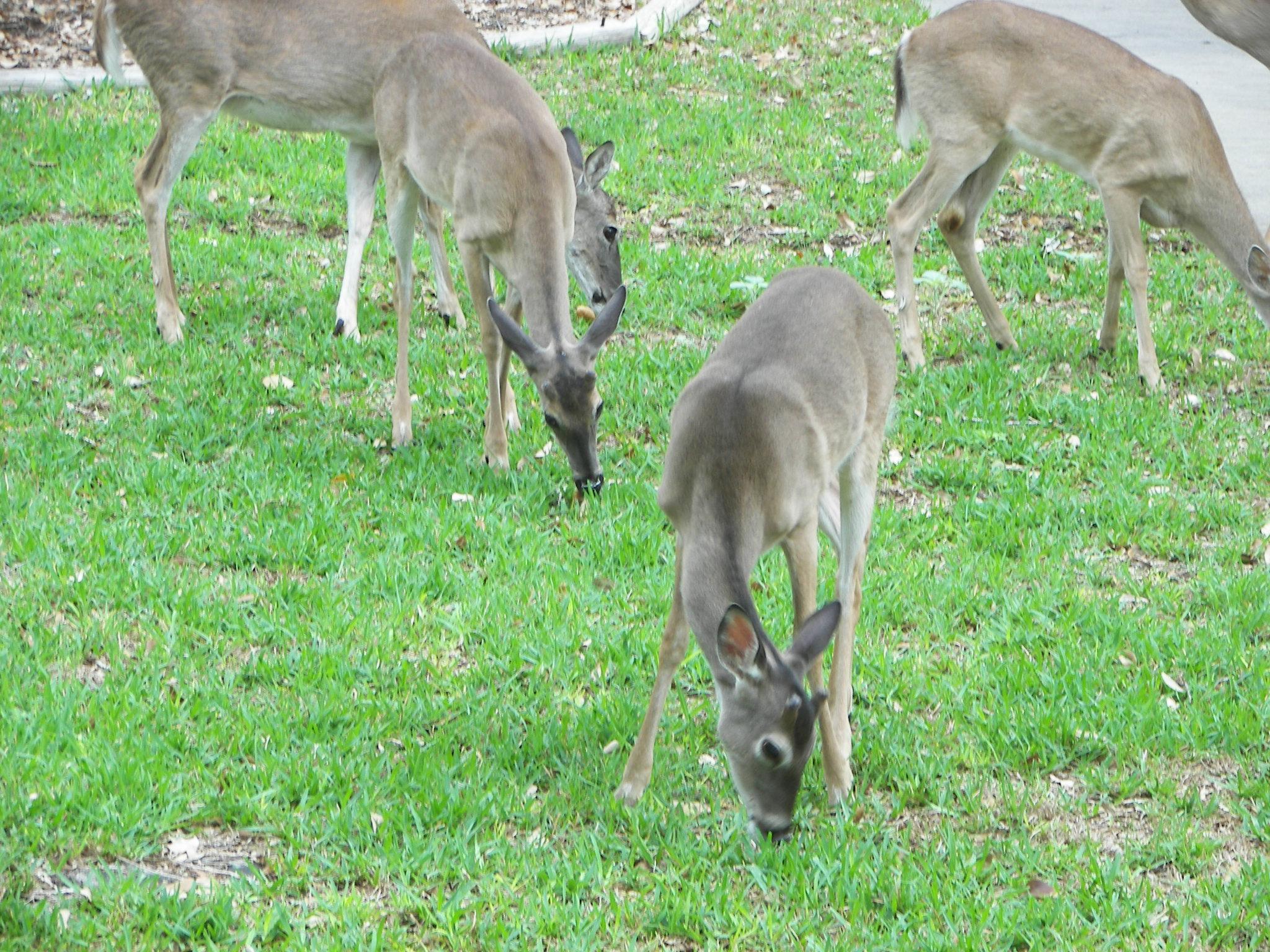 What do deer eat