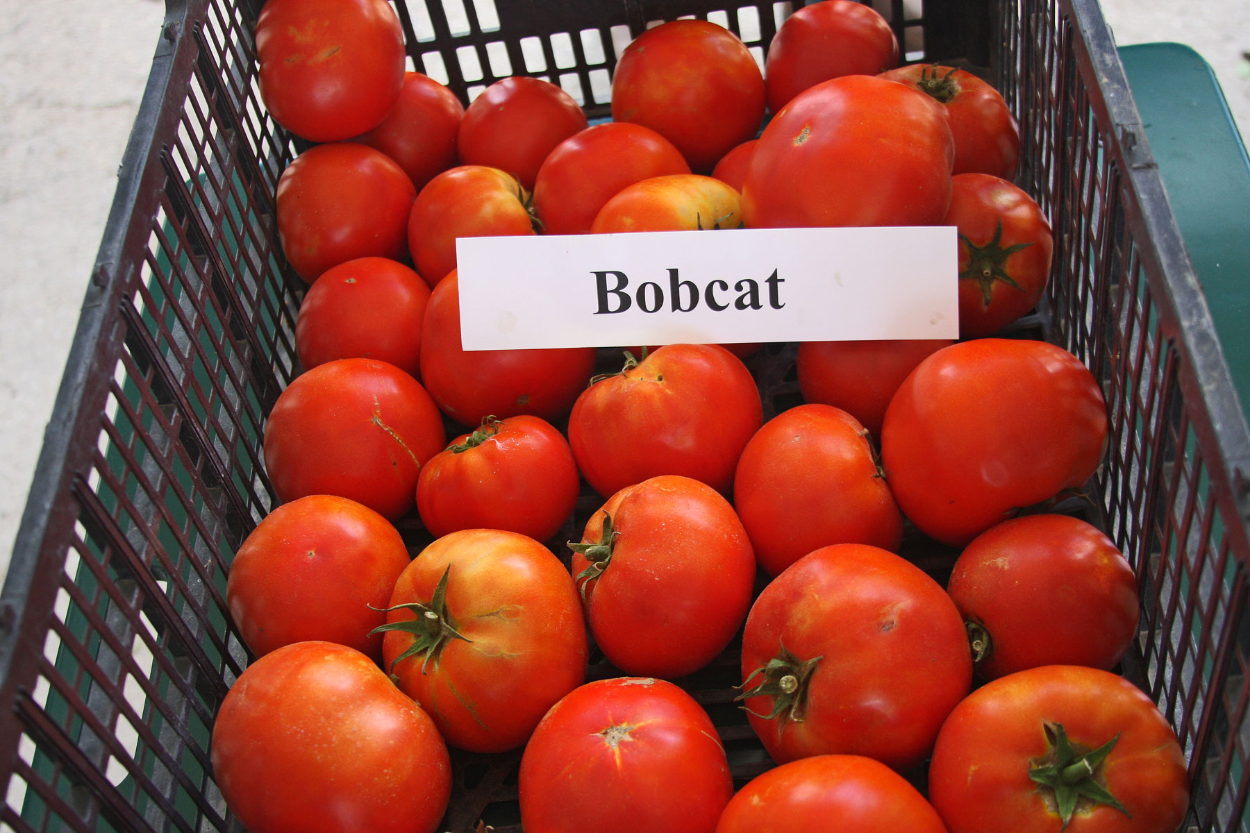 Plantanswers Plant Answers Gt Bobcat Rodeo Tomato For 2015