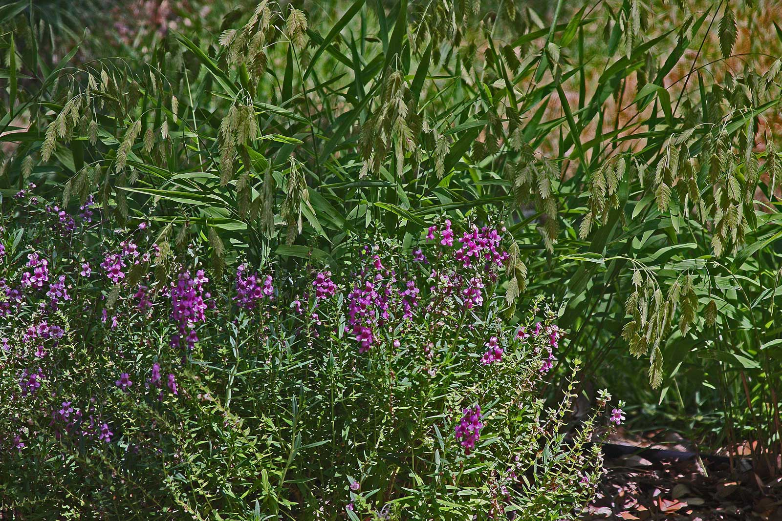 plantanswers plant answers u003e angelonia or summer snapdragon