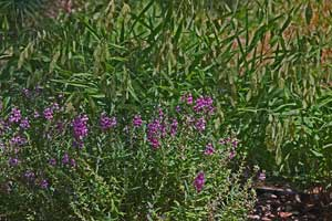 Angelonia with Inland Sea Oats in background - both deer resistant
