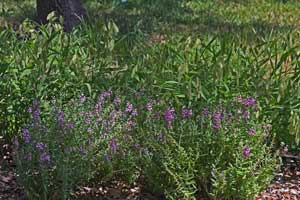 Angelonia with Inland Sea Oats in background