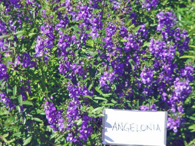 Plantanswers plant answers angelonia or summer snapdragon angelonia or summer snapdragon mightylinksfo Gallery