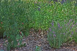 Image showing Ruellia graecizans (left with red flowers) being eaten next to a 3-year-old 'Serena' Angelonia with no damage in July.
