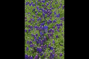 Lady Bird Johnson Royal Blue bluebonnet group