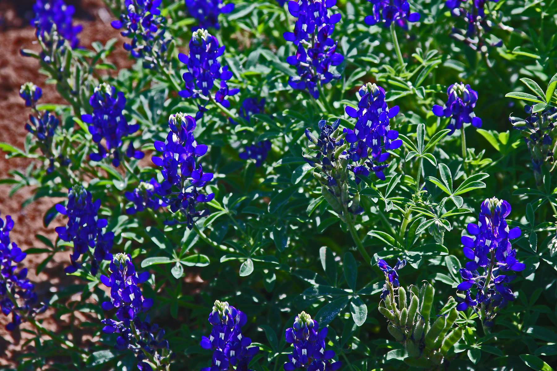 Plantanswers Plant Answers Gt Lady Bird Royal Blue Texas