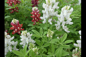 Ray Stachowiak's Red-White-and-Blue Bluebonnets on March 14, 2020