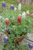 Red-White-and-Blue Bluebonnets grown by Milton N. Glueck and his wife Laura and photographed on March 15, 2020