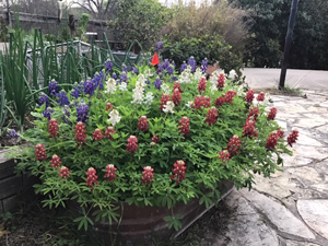 Bart Kelly's Container Red-White-and-Blue Bluebonnets on March 12, 2020