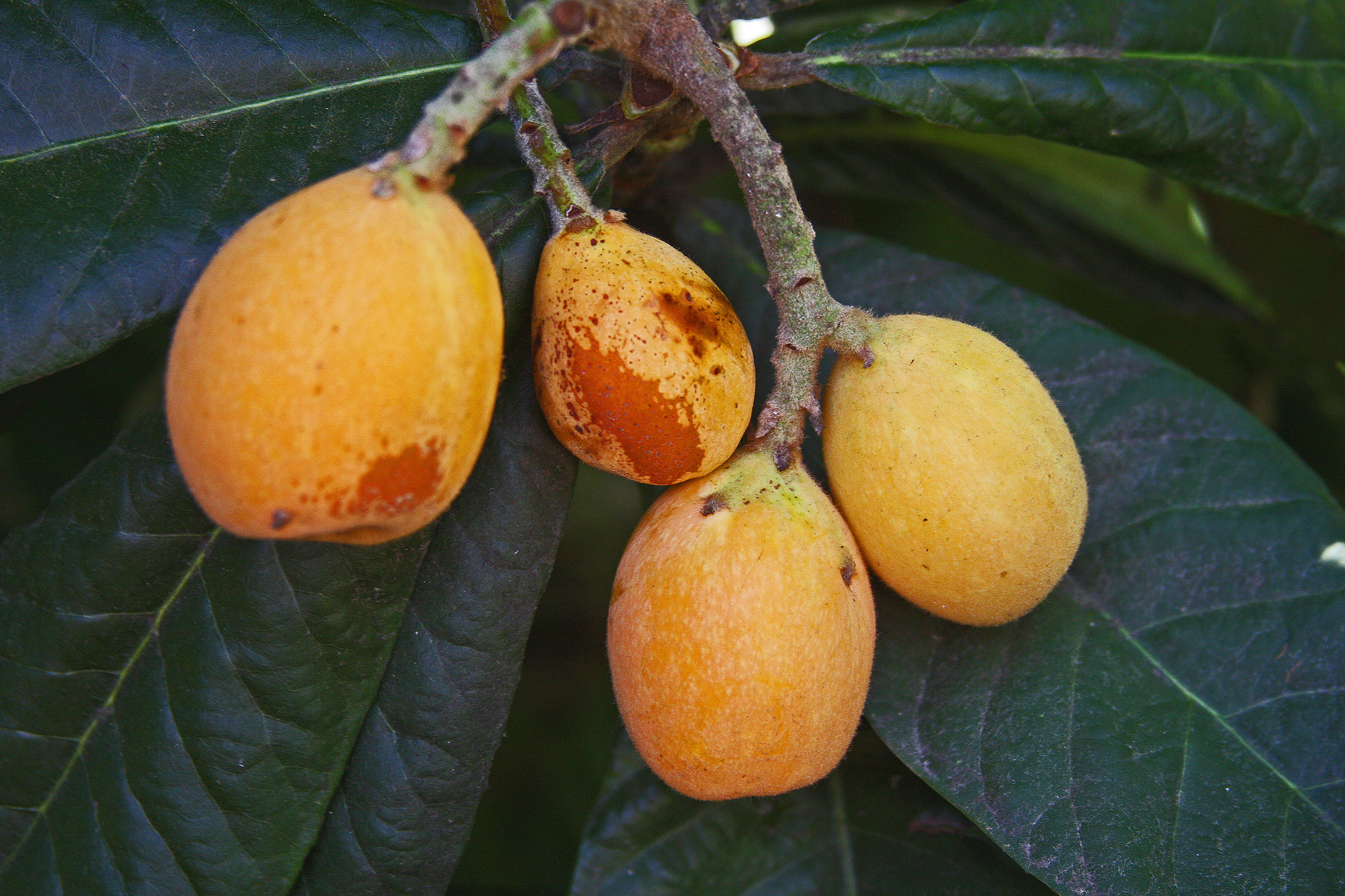 Images Of Loquat Fruit