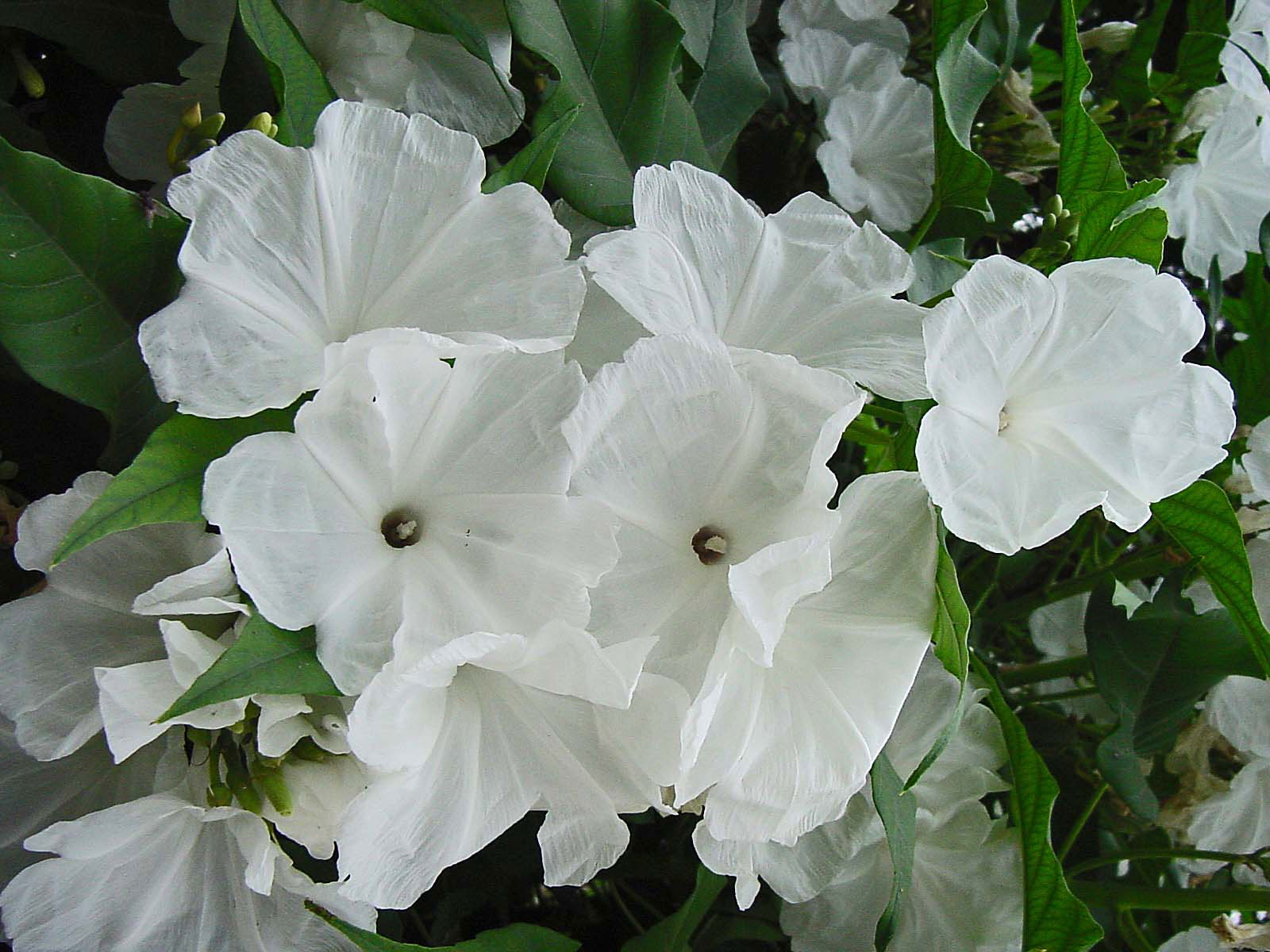 Plantanswers Plant Answers Bush Morning Glory