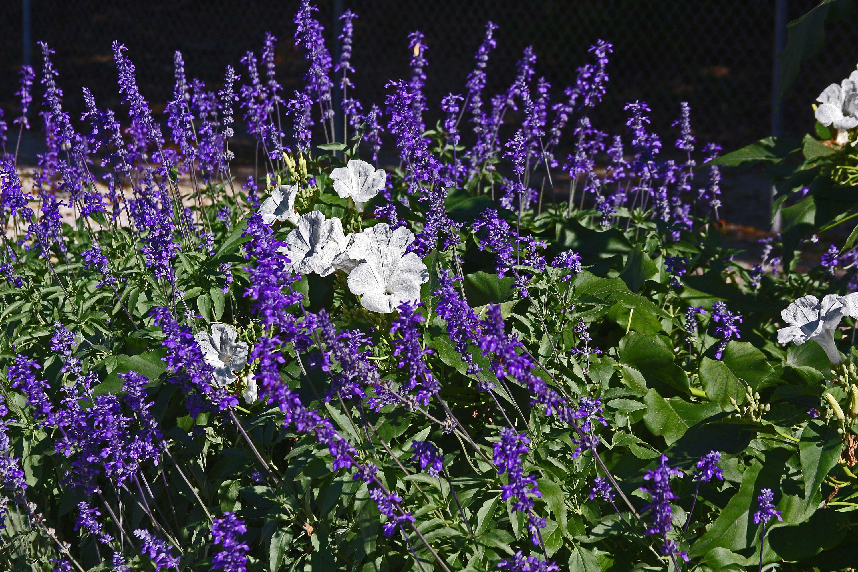 Garden Bush: PLANTanswers: Plant Answers > BUSH MORNING GLORY