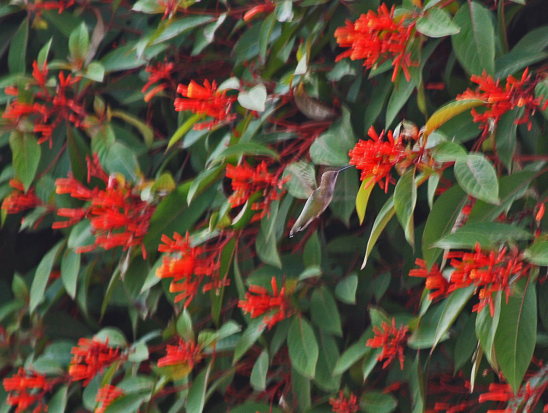 Plantanswers Plant Answers Gt Hummingbirds