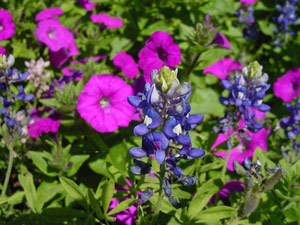 Bluebonnets and Laura Bush Petunias