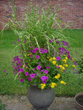 Laura Bush Petunia, Lantana and ornamental grass