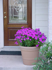 Laura Bush petunia in container