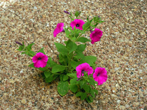Petunia, Laura Bush growing in asphalt from Lineberger in 2006