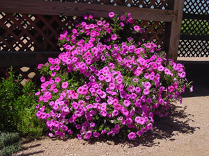 Pink Laura Bush petunia on May 23, 2001