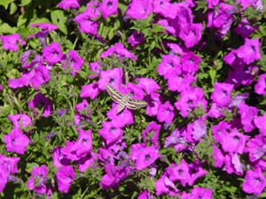 Pink Laura Bush petunia with moth