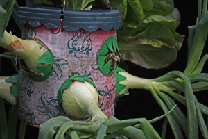 11. Some of the onions are enlarging within the portal