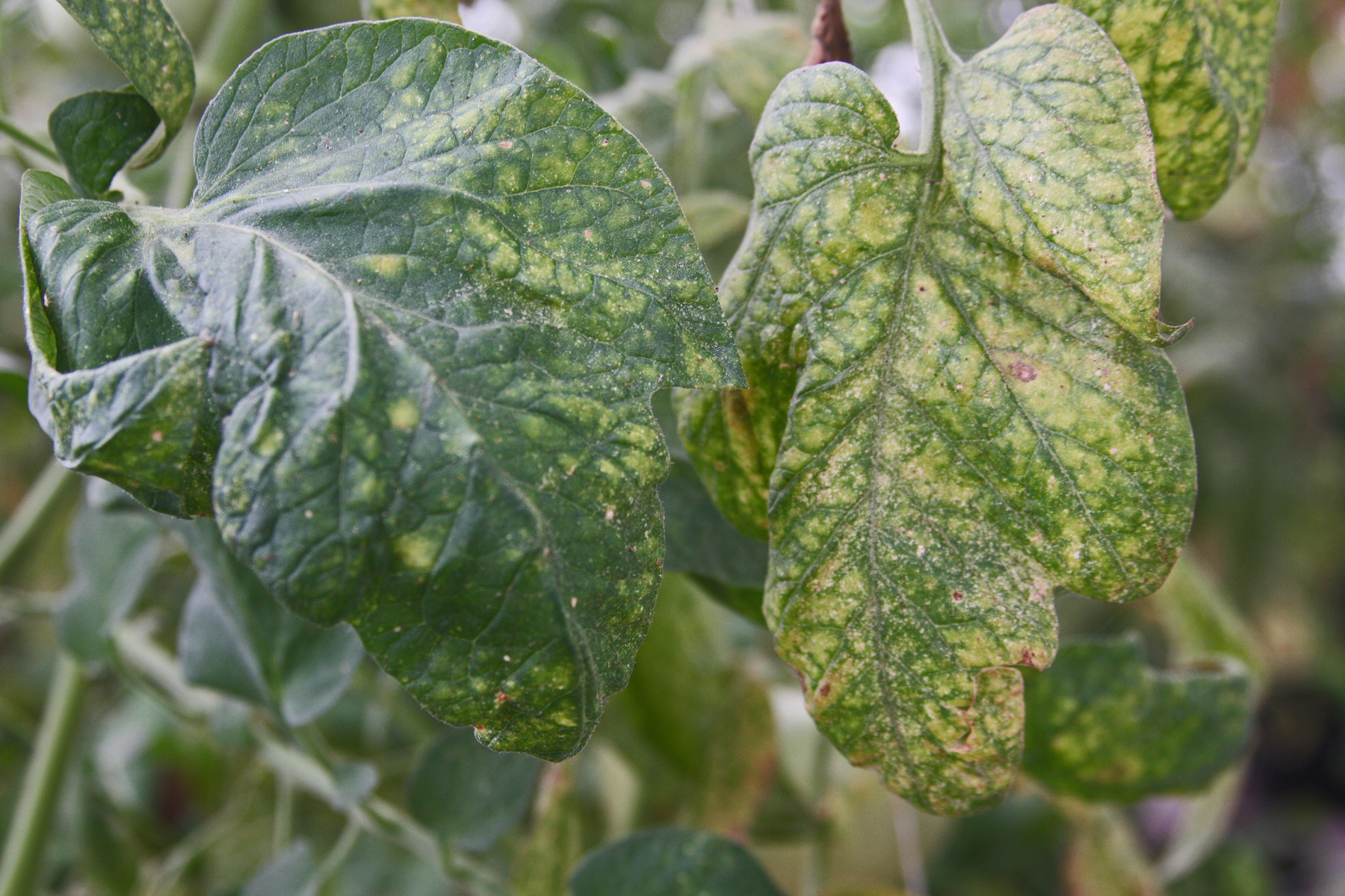 PLANTanswers: Plant Answers > Spidermites – Plague of the