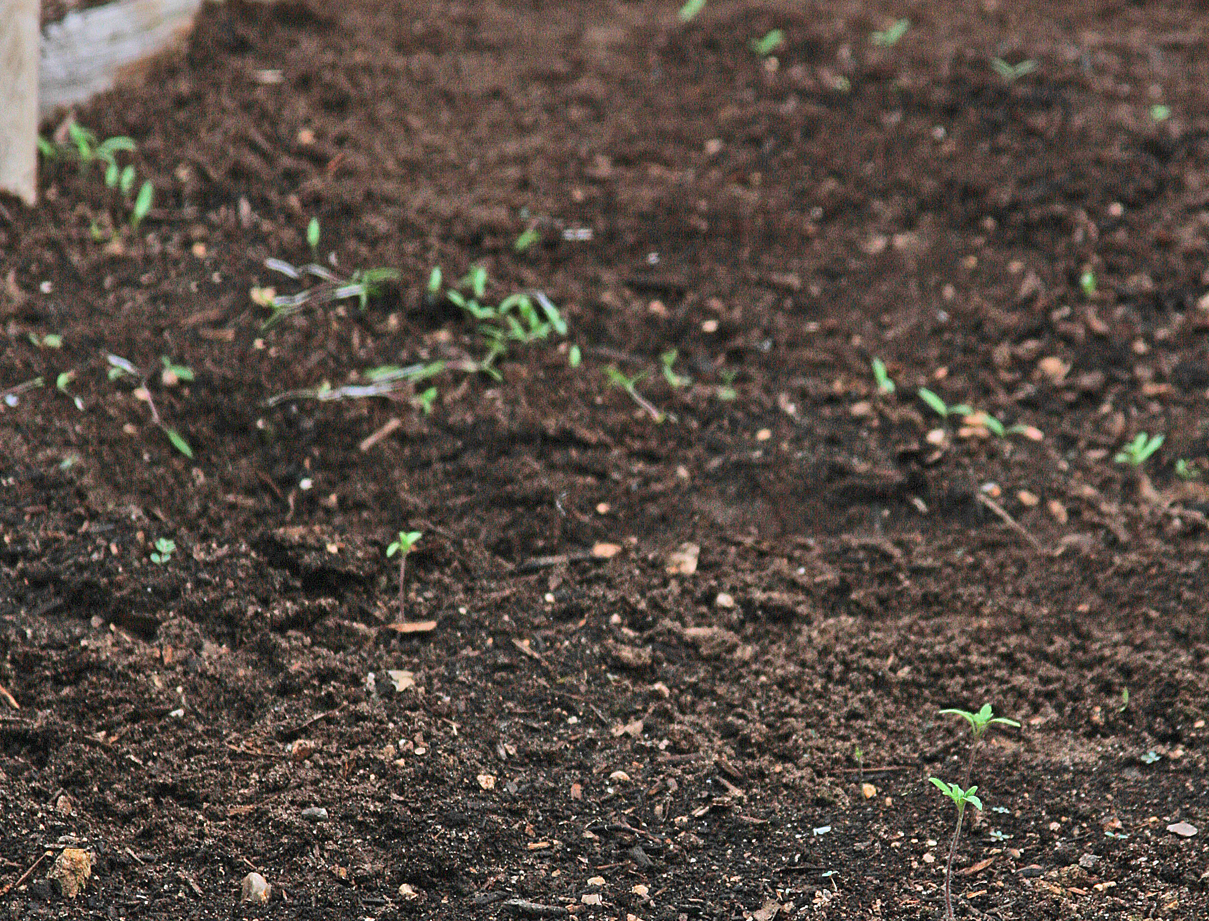 PLANTanswers Plant Answers Direct Seeding Into Garden Soil Of