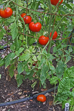 Establishment and an abundant harvest of fall tomatoes depends largely on drip irrigation.