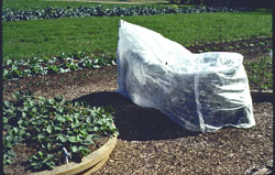 Cover plants and fruit with clear plastic for cold protection and fruit ripening.
