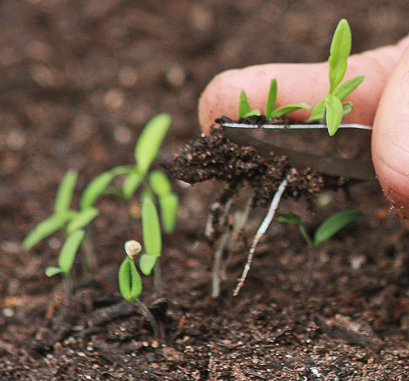 PLANTanswers: Plant Answers > Direct Seeding Into Garden Soil Of ...