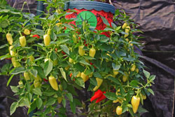 Rio Grande Gold Peppers growing in a container.