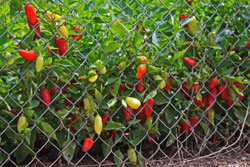 Rio Grande Gold Peppers growing in a garden.