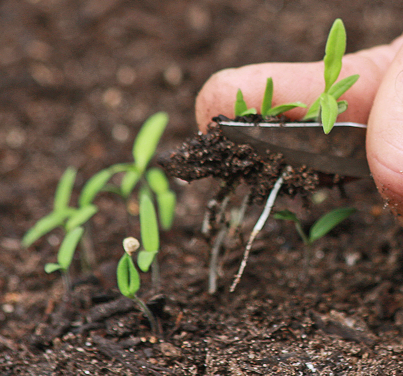 if the intent is to move or transplant the excess seedlings be sure to lift the seedlings or transplants from beneath with a large spoon or trowel