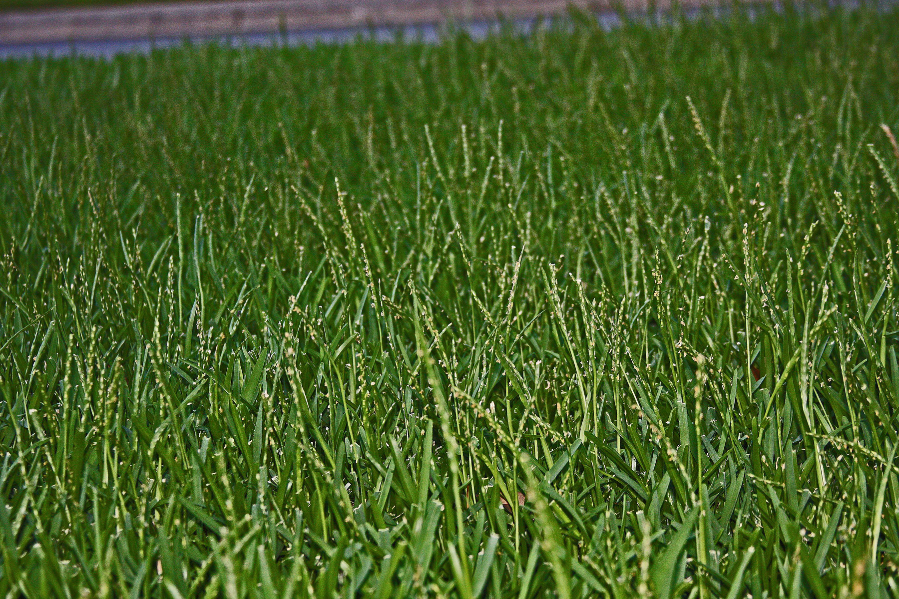 plantanswers plant answers grass strange growths seed stalks on my st augustinegrass. Black Bedroom Furniture Sets. Home Design Ideas