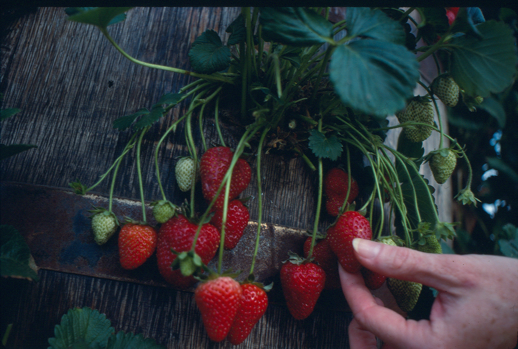 Strawberries Growing In Barrel