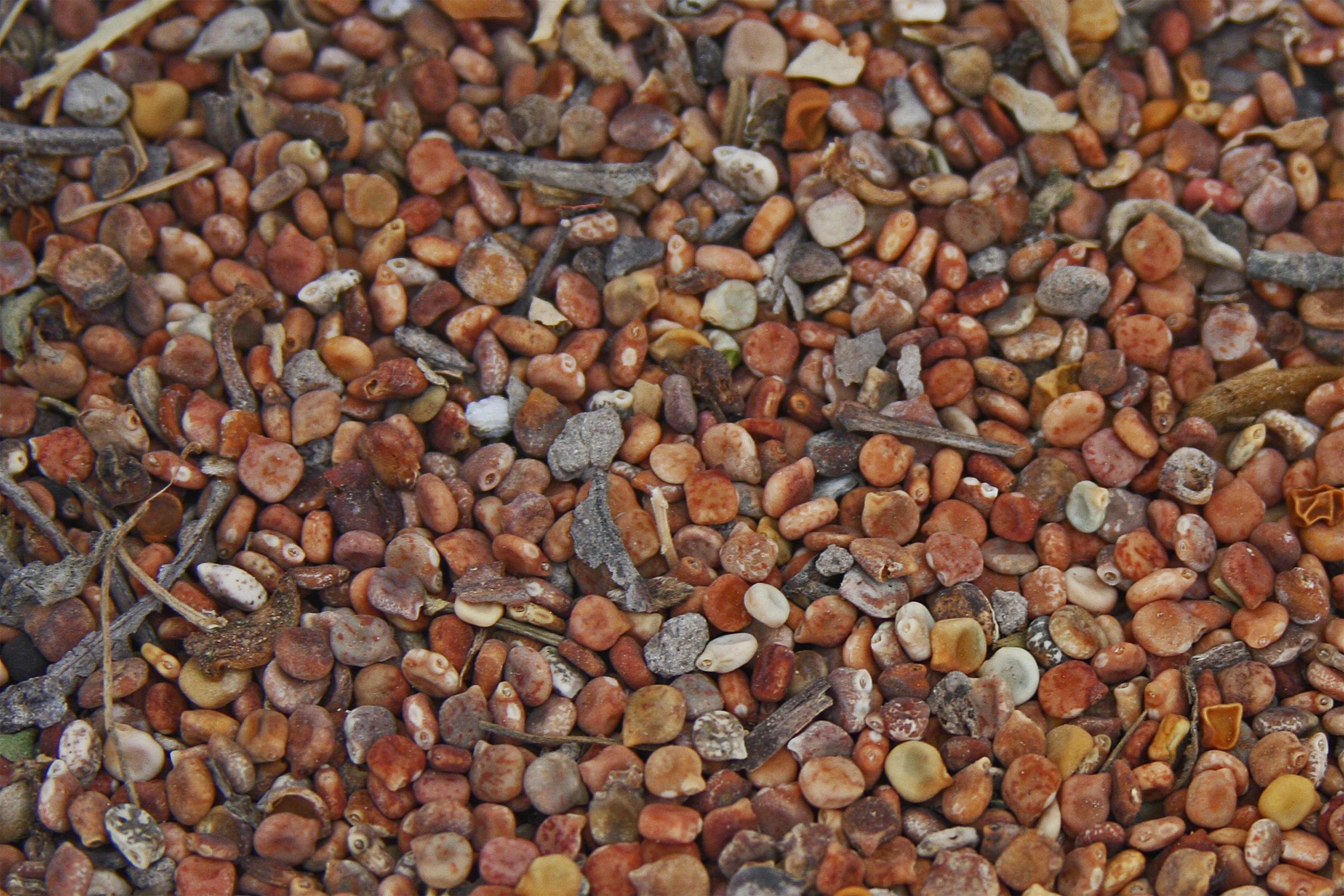 PLANTanswers: Plant Answers > Extraction and Scarification of Bluebonnet Seed2400 x 1600 jpeg 1406kB