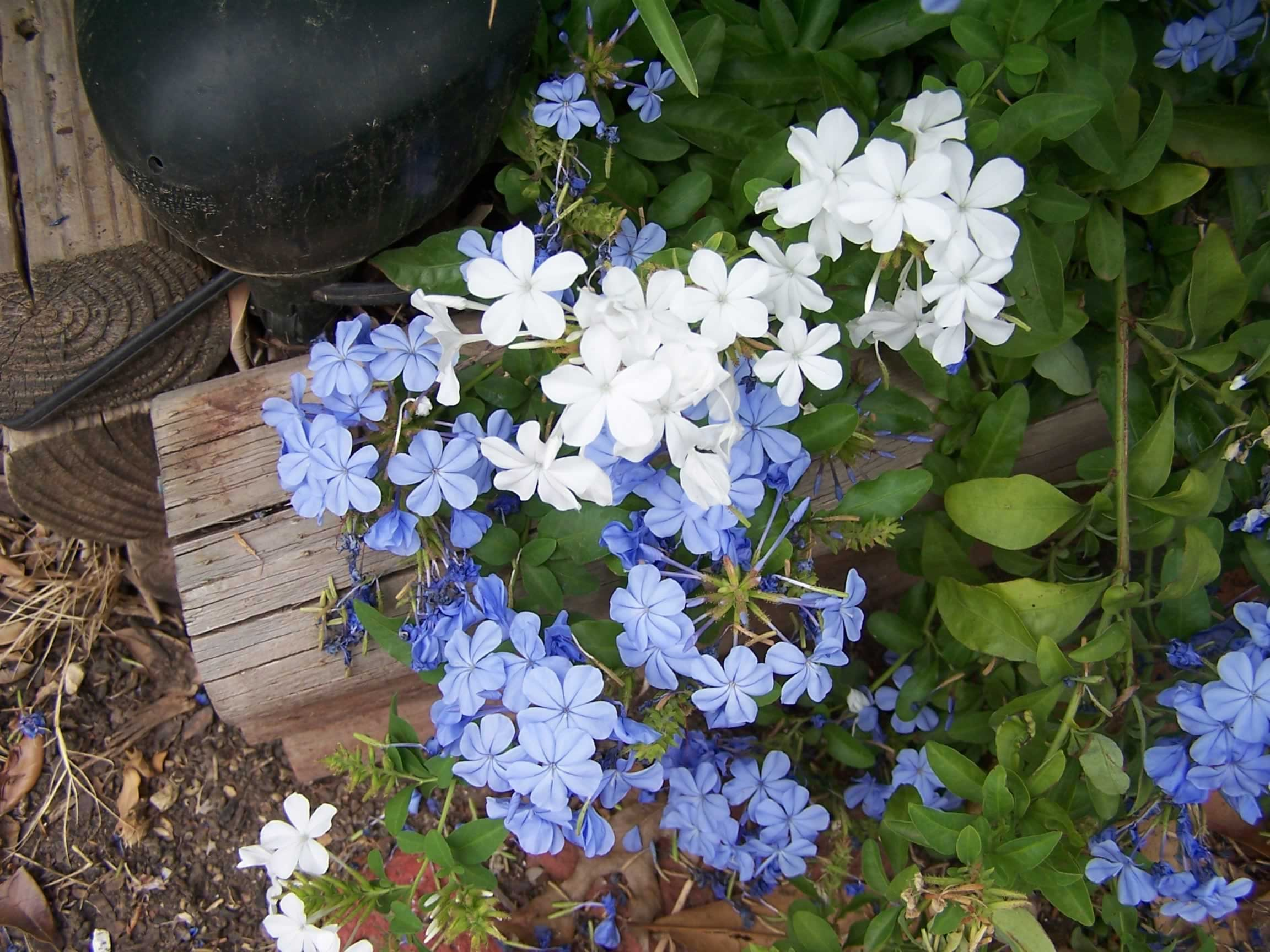 Garden Bush: PLANTanswers: Plant Answers > PLUMBAGO * A LOVELY BLUE