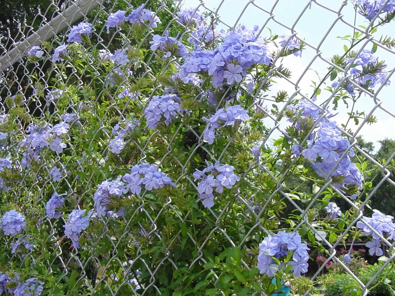 Plantanswers Plant Answers Plumbago A Lovely Blue Flowered
