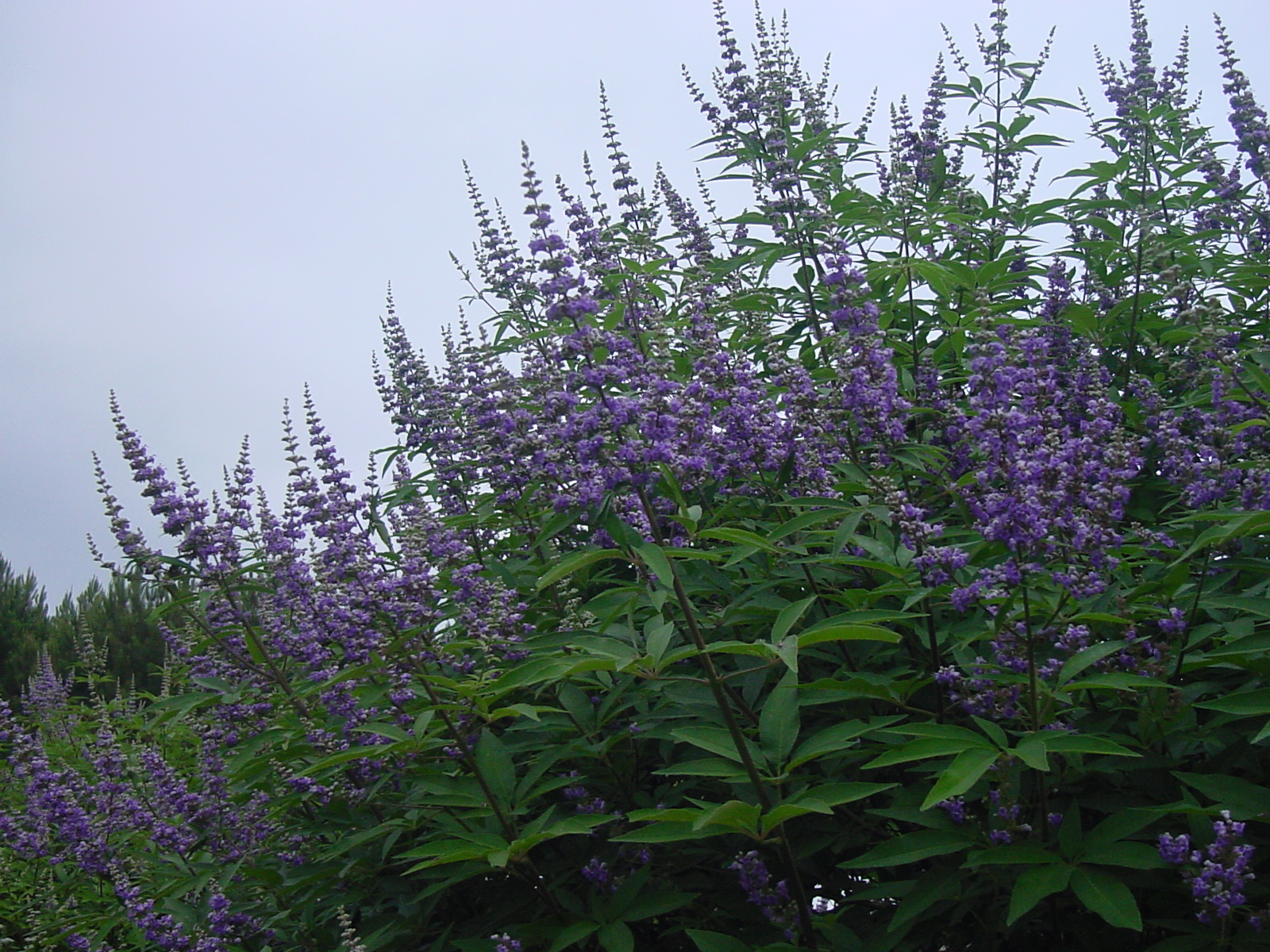 Plantanswers plant answers gt texas lilac vitex the next mega