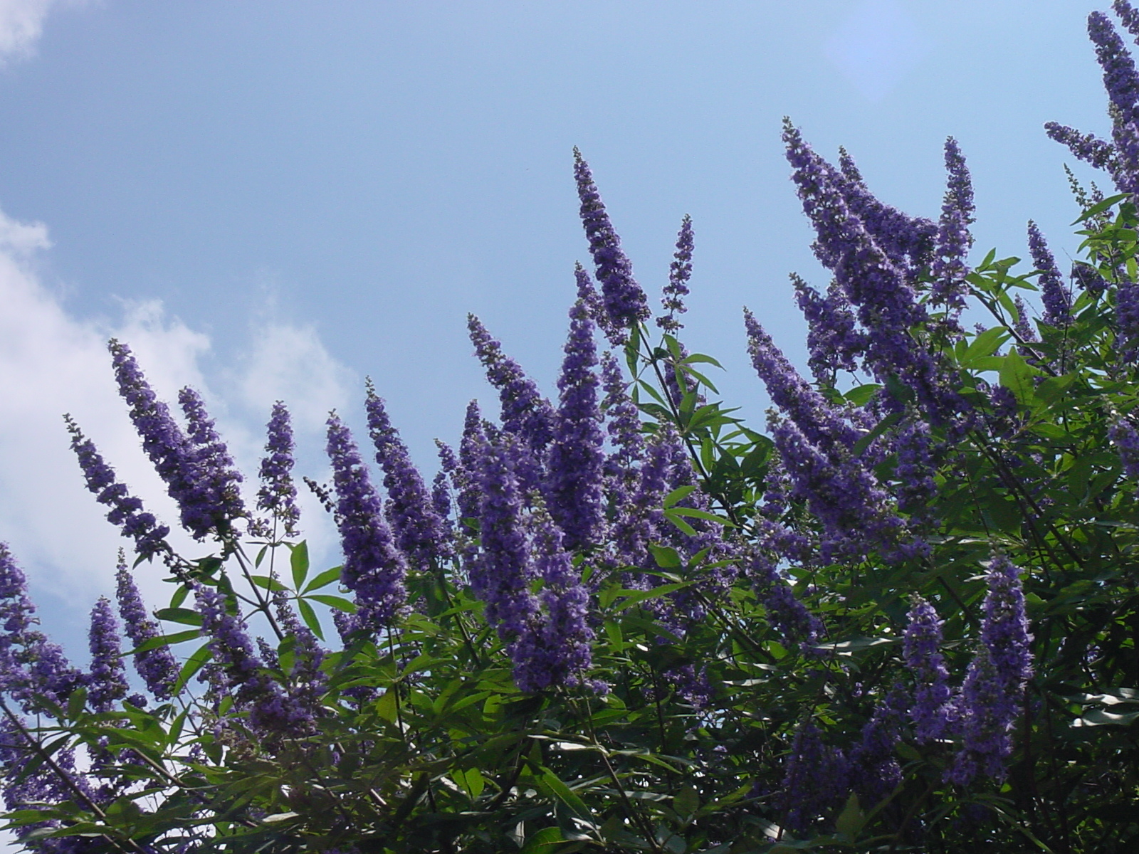 Plantanswers Plant Answers Gt Texas Lilac Vitex The Next