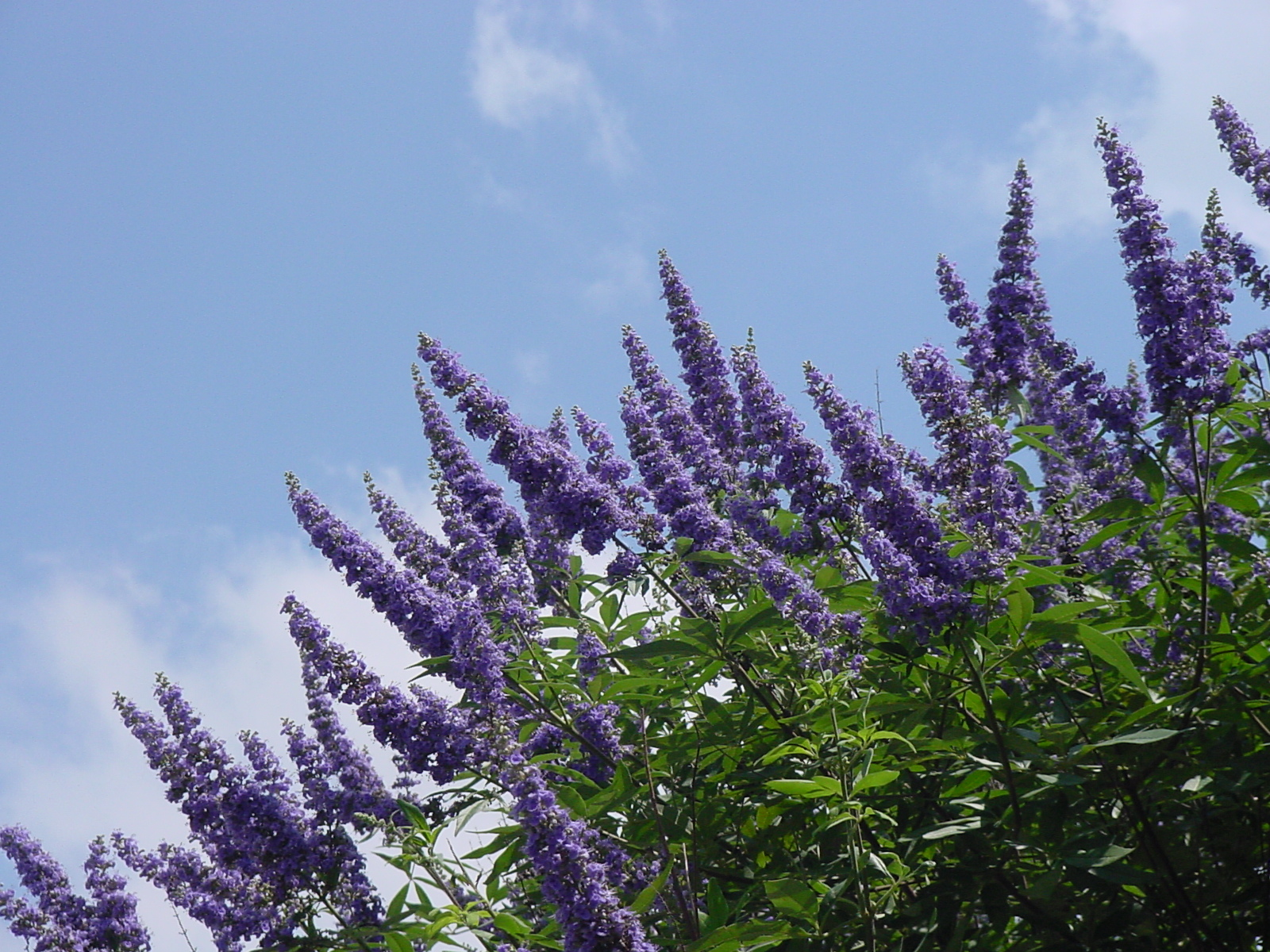 Plantanswers Plant Answers Texas Lilac Vitex The Next Mega