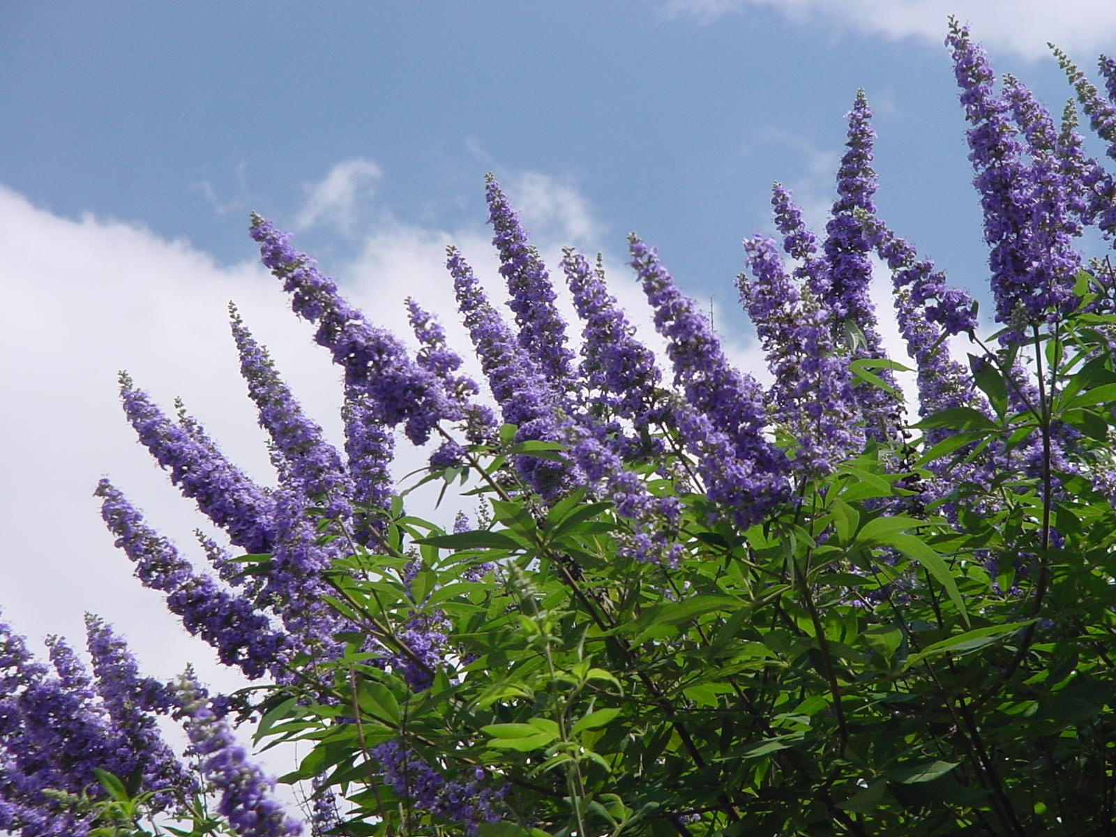 Plantanswers Plant Answers Texas Lilac Vitex The Next Mega