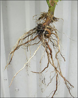 Marigold Flower Root System | Flower Inspiration Marigold Plant With Roots
