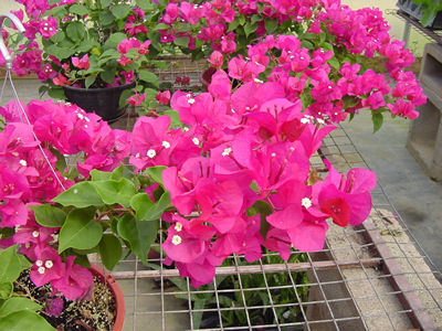 The Modern Day Hybrids Of Bougainvillea Spectabilis B Brasiliensis And Glabra Are Among Most Beautiful Flowering Vines