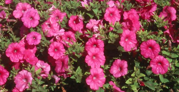 Plantanswers Plant Answers Laura Bush Petunia